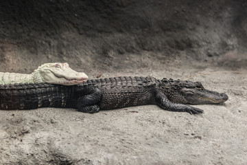 Photo sur Plexiglas Crocodile Albino alligator and a crocodile in a zoo scene