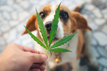 Beagles puppies looking up with Cannabis leaves over nose, medical marijuana for pets concept Fotomurales