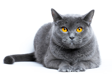 Portrait of a gray shorthair british cat on a white background Wall mural