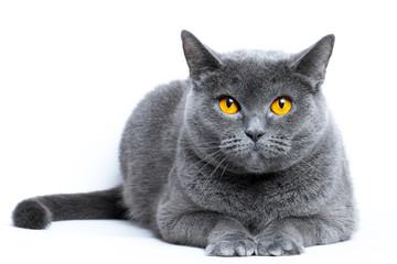 Portrait of a gray shorthair british cat on a white background Fotoväggar