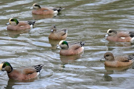 American Wigeons in Commonwealth lake