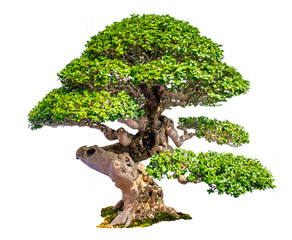 Photo sur Aluminium Bonsai Bonsai Tree Isolated on white background