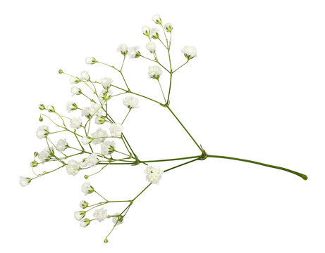 Closeup of small white gypsophila flowers