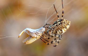 Fond de hotte en verre imprimé Papillon Beautiful spider feasting grasshopper on a spider web . Macro photo.