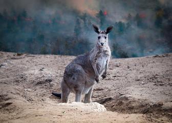 Foto op Aluminium Kangoeroe kangaroo from australia saved during the forest fire 2020
