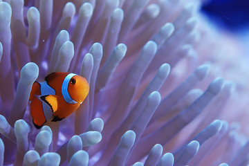 Garden Poster Coral reefs clown fish coral reef / macro underwater scene, view of coral fish, underwater diving