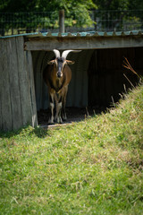 Goat Taking Shelter in a Hut on a Hot Sunny Day, Selective Focus Vertical