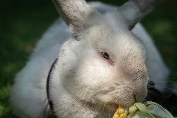 Close Up of White Pet Rabbit Eating Corn in the Shade of Tree, Selective Focus