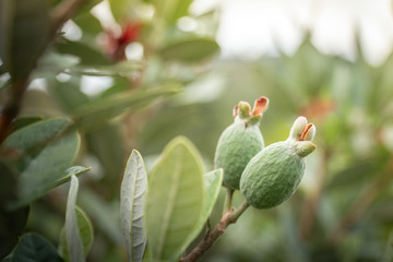 Close Up of Developing Feijoa Growing in An Orchard Selective Focus with Copy Space