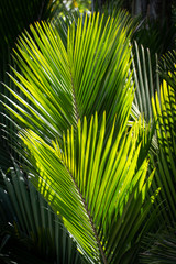 Fronds of Palm Trees in Sunlight on a Sunny Day Backlight