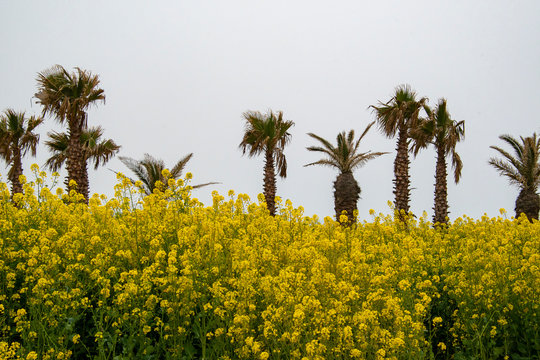 Beautiful Jeju Island with Rape Blossoms and Palm Trees