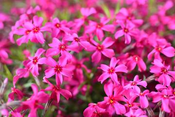Türaufkleber Rosa Moss phlox, flowers of spring