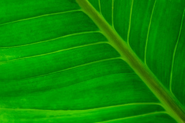 Wall Mural - Close-up large foliage of green tropical leaf texture, abstract nature background. spring time.