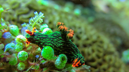 Underwater picture of Nembrotha Kubaryana. Colorful sea slug dorid nudibranch crawling on a stony...