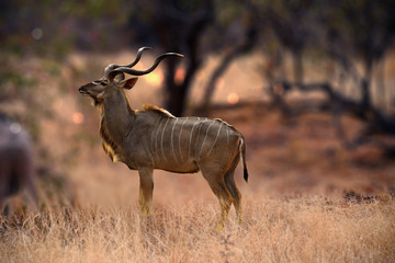 Spoed Foto op Canvas Antilope Kudu animal at African forest
