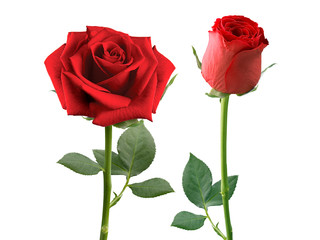 Poster Roses red rose isolated on white background