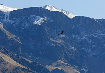Andean Condor (Vultur gryphus) Flying over Colca Canyon, Against Cliffside and Glacier Mountains. Colca Canyon, Peru