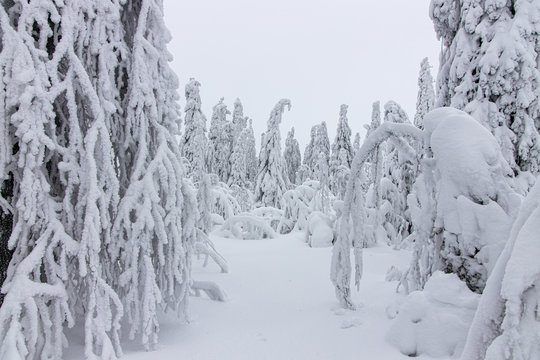 Winter forest in Lapland .trees in the snow