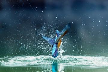 Europe Hungary Opusztaszer Common Kingfisher Male (Alcedo atthis) Eurasian kingfisher and river kingfisher.