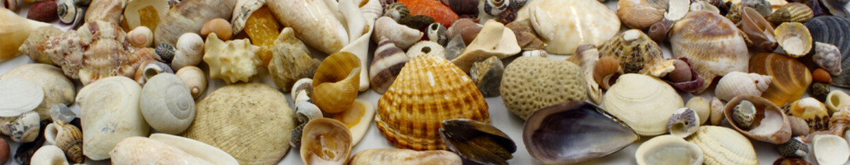 panoramic shells on the beach including bivalves clams scallops snails and limpet