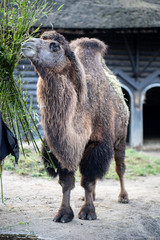 Camel in Copenhagen Zoo