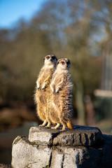 Meerkats in Copenhagen Zoo