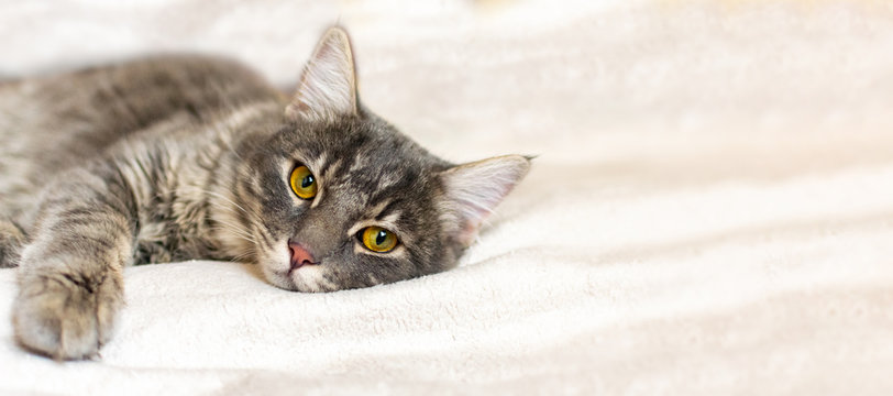 Sad sick gray cat lies on a white fluffy blanket in a veterinary clinic for pets. Depressed illness animal looks at the camera. Feline health background with copy space.