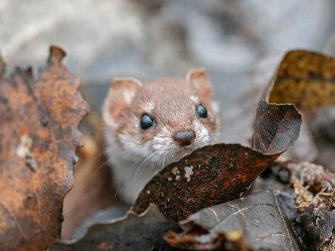 least weasel (Mustela nivalis) closeup portrait in natural environment. Weasel or Least weasel (mustela nivalis)