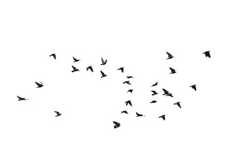 Papiers peints Oiseau Flocks of flying pigeons isolated on white background. Clipping path.