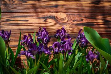 Foto op Plexiglas Iris Purple iris flowers outdoors on a wooden wall background