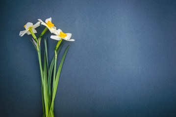Daffodils on on a blue grey background