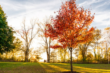 Close up of colorful autumn tree in a park with family having picnic in background