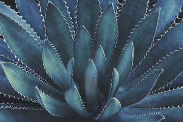 Photo sur cadre textile Cactus Agave Plant In Dark Blue Tone Color Natural Abstract Pattern Background