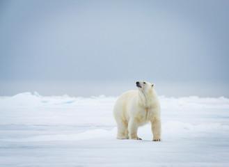 Foto op Aluminium Ijsbeer polar bear sniffs