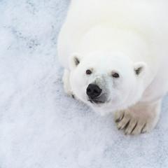 Foto op Aluminium Ijsbeer polar bear close up