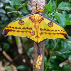 Comet moth, Argema mittrei, Ranomafana, Madagascar