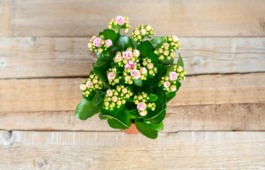 Pink Kalanchoe flowers in a pot on a wooden background. Sunshine.