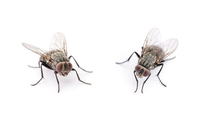 fly isolated on a white background Fotomurales