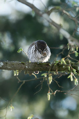 Cute Pygme owl in Bialowieza, Poland