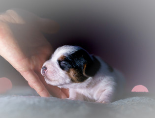 Few days old dog in a studio photo session. Jack Russell terriera puppy. Little white dog. Beautiful blurry lights.