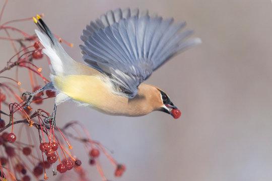 cedar waxwing (Bombycilla cedrorum) feeding in winter