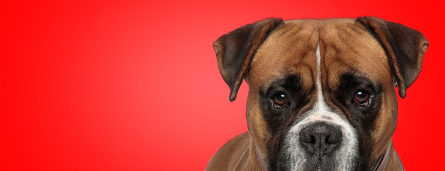 boxer dog with brown fur hiding and looking at camera