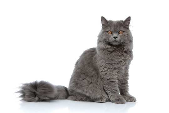 british longhair cat sitting one way and looking the other
