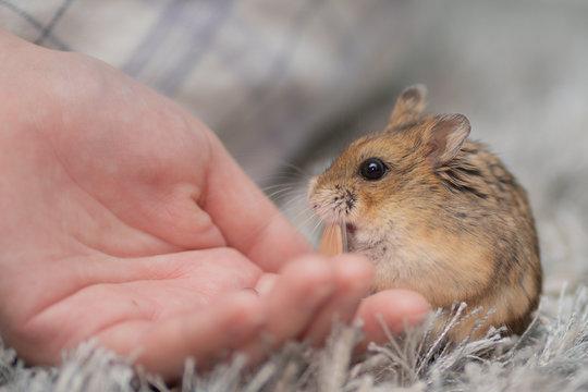 hamster eats seed