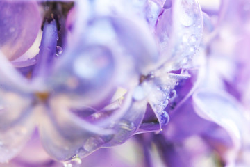 Wall Murals Lilac Beautiful smell violet purple lilac blossom flowers in spring time. Close up macro twigs of lilac with rain drops. Inspirational natural floral blooming garden or park. Ecology nature landscape.