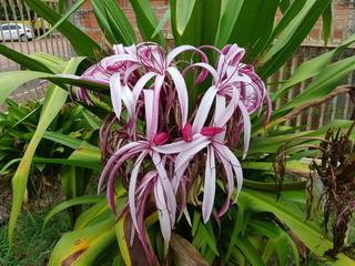 Crinum asiaticum, Amaryllidaceae family. Amazon, Brazil