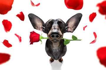 Tuinposter Crazy dog valentines wedding dog in love