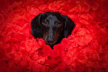 Deurstickers Crazy dog valentines wedding dog in love