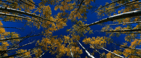 Wall Mural - Aspen in autumn color with deep blue Colorado sky looking straight uyp