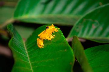 Fotorollo Frosch Gelber Goldbaumsteiger Frosch auf Blatt im Amazonas in Peru